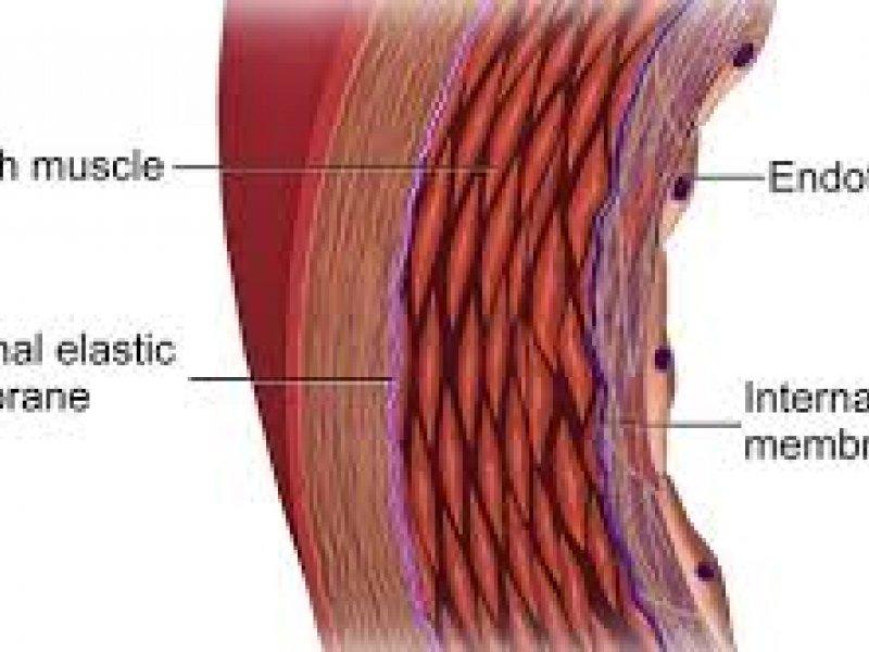 endothelium elhelyezkedése az érrendszerben